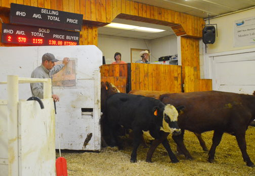 Last Monday area ranchers sent in more than 500 head to the Meadow Lake Stockyards that were auctioned off to the highest bidder. Above, Boyd Stewart opens the gate for another set of yearlings while below, auctioneer Frederick Bodnarus keeps track of the bids from buyers Aug. 25.